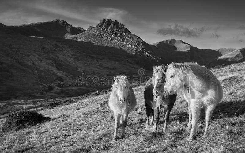 Carneddau Ponies - Wales stock afbeelding