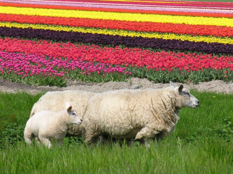 Download Carneiros foto de stock. Imagem de mola, tulips, vermelho - 111898