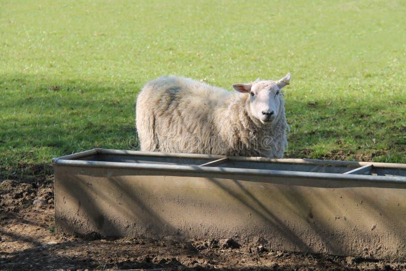 Carneiros adultos da ovelha fotos de stock royalty free