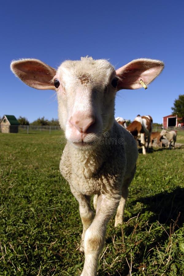 Carneiros - animais de exploração agrícola imagem de stock royalty free