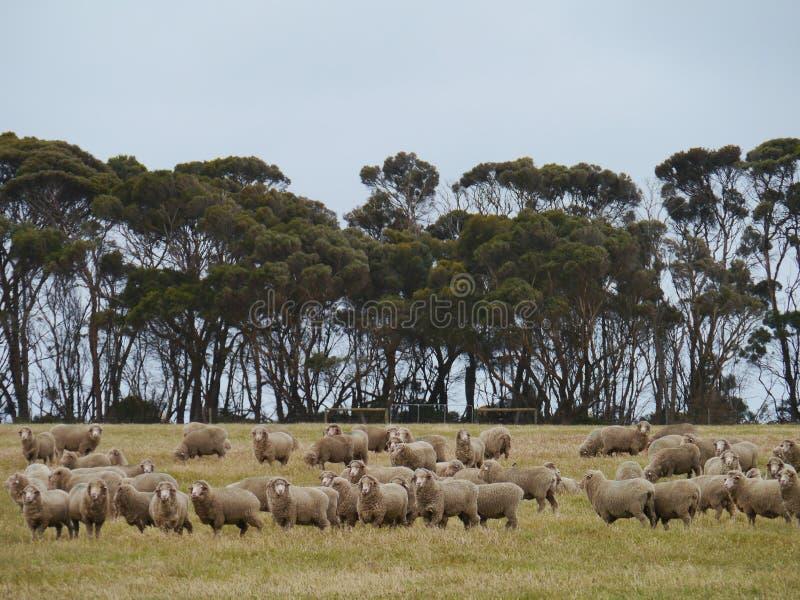 Carneiros australianos fotografia de stock