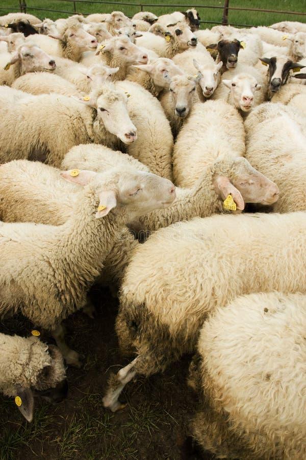 Carneiros brancos com Tag fotografia de stock royalty free