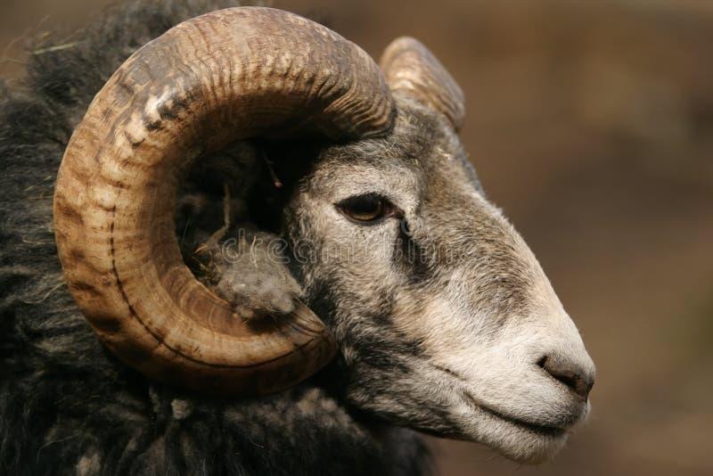 Carneiros, carneiros de Gotland - ram imagens de stock royalty free