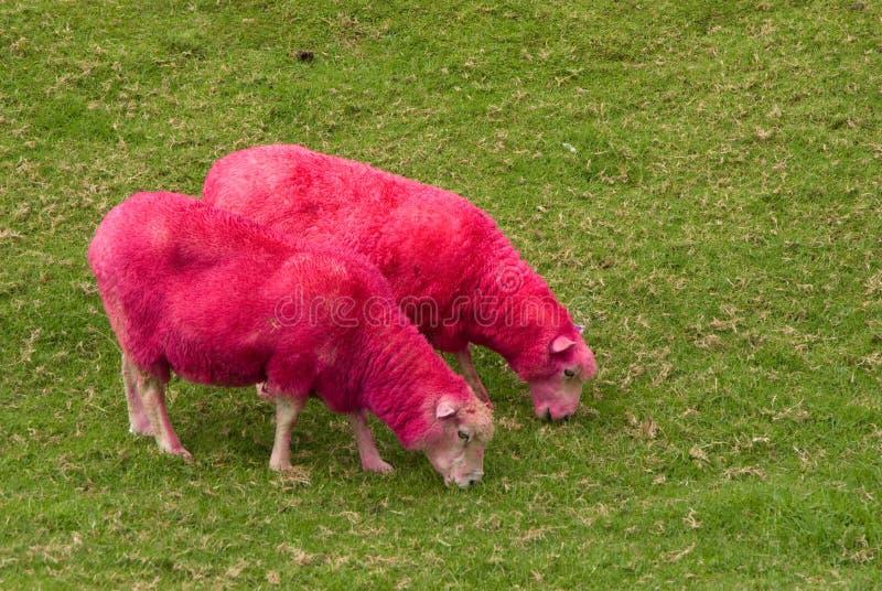 Carneiros cor-de-rosa imagens de stock