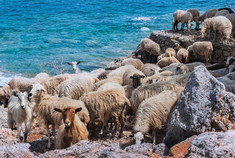 Carneiros Cretan pelo mar