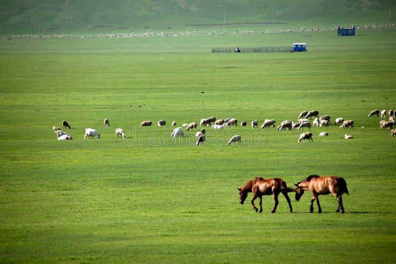 Carneiros da pastagem do beira-rio dos tribos de Khan Mongol da horda dourada de Mergel, cavalos, gado foto de stock