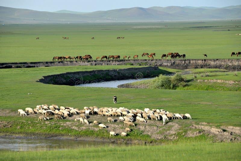 Carneiros da pastagem do beira-rio dos tribos de Khan Mongol da horda dourada de Mergel, cavalos, gado foto de stock royalty free