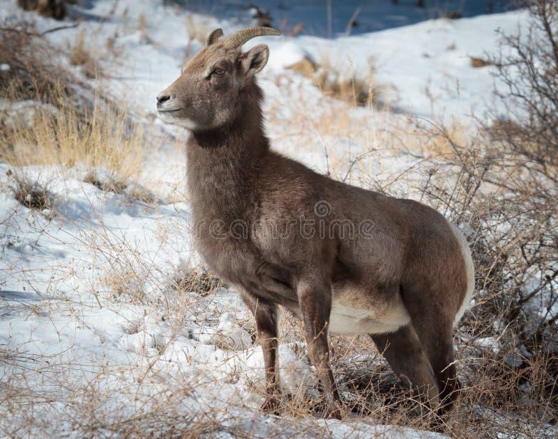 Carneiros de Bighorn fotos de stock