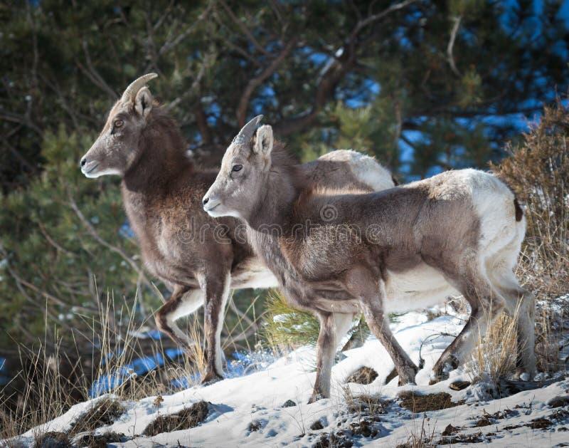 Carneiros de Bighorn fotografia de stock