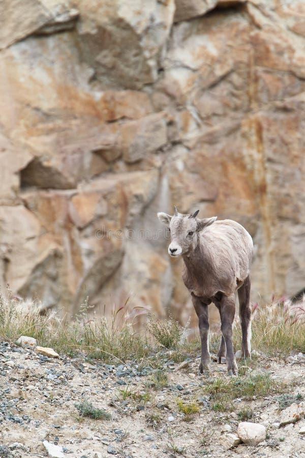 Carneiros de Bighorn, canadensis do ovis fotografia de stock royalty free