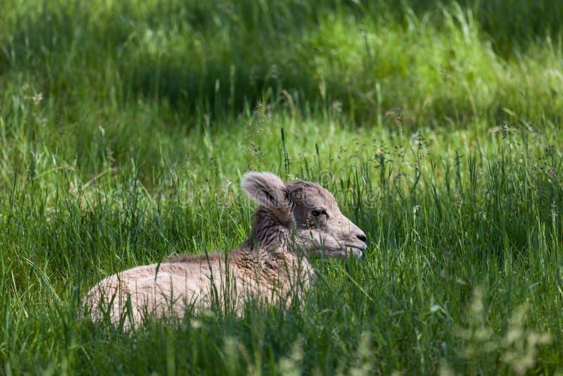 Carneiros de Bighorn do bebê na mola fotografia de stock