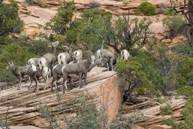 Carneiros de Bighorn do deserto imagens de stock