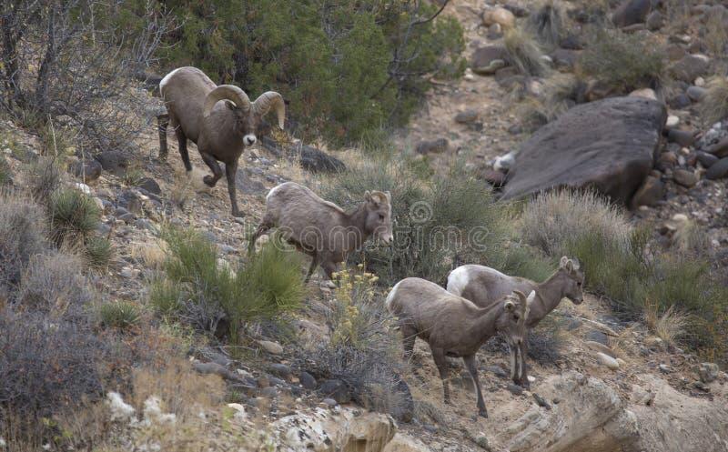 Carneiros de Bighorn do deserto fotos de stock royalty free