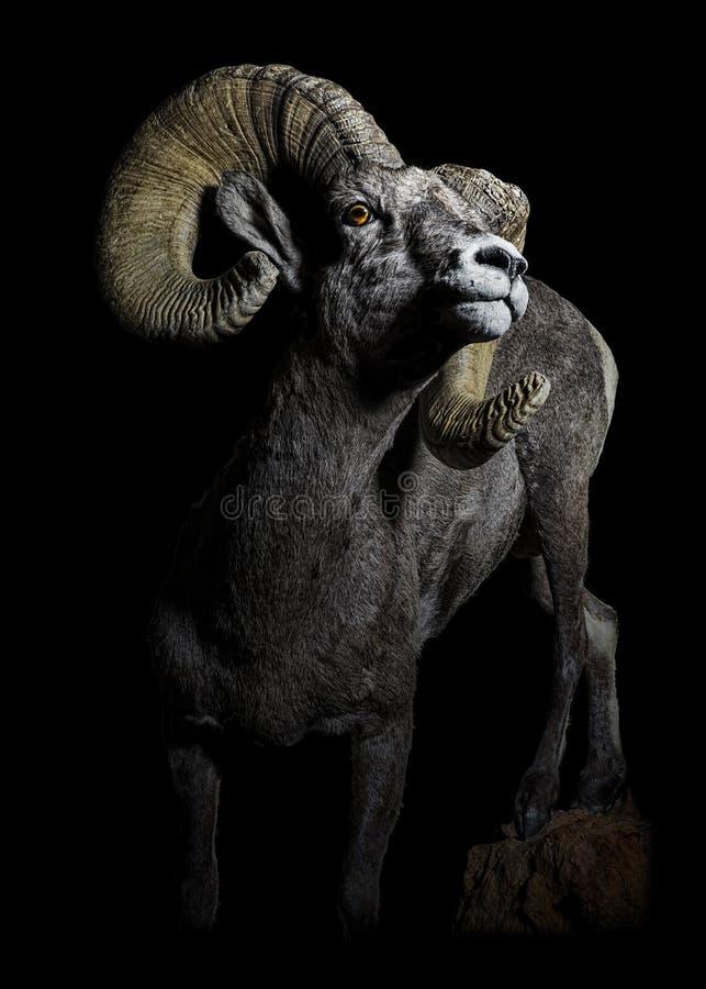 Carneiros de Bighorn Ram Portrait Low Key do deserto imagem de stock royalty free