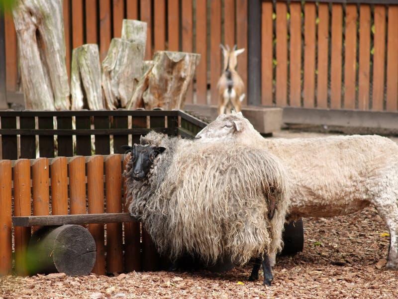 Carneiros de cabelos compridos em um jardim zoológico fotografia de stock