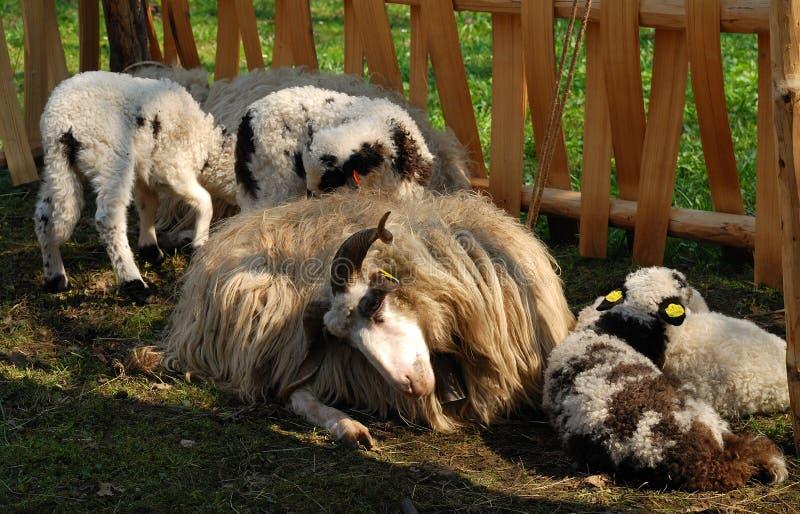 Carneiros de cabelos compridos na pena foto de stock royalty free
