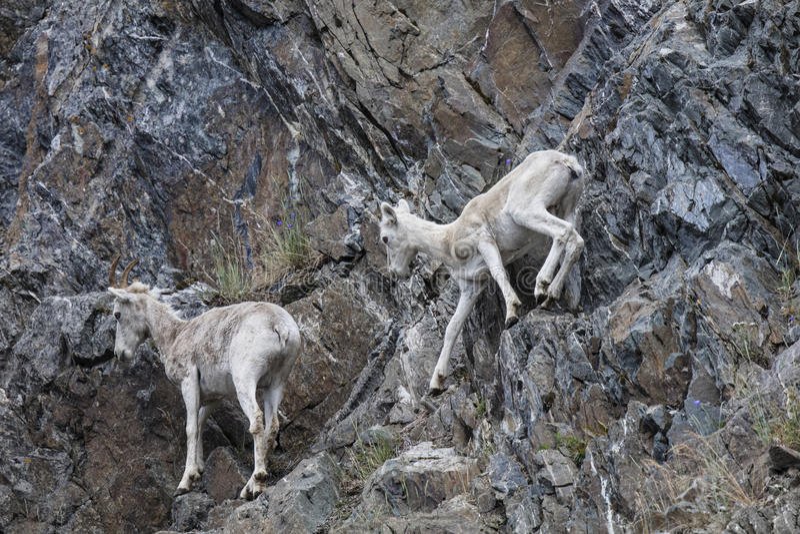 Carneiros de Dall Alaska fotos de stock royalty free