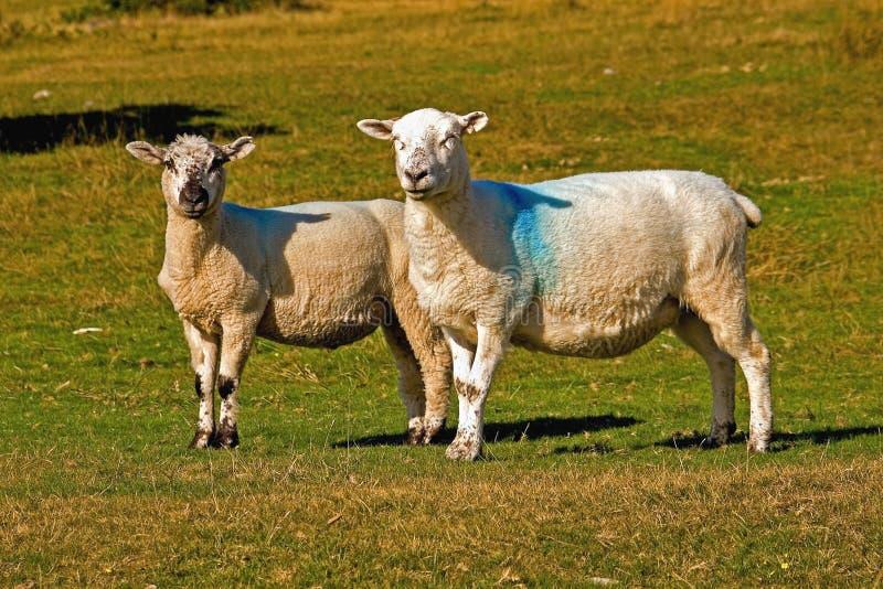 Carneiros de Dartmoor fotografia de stock