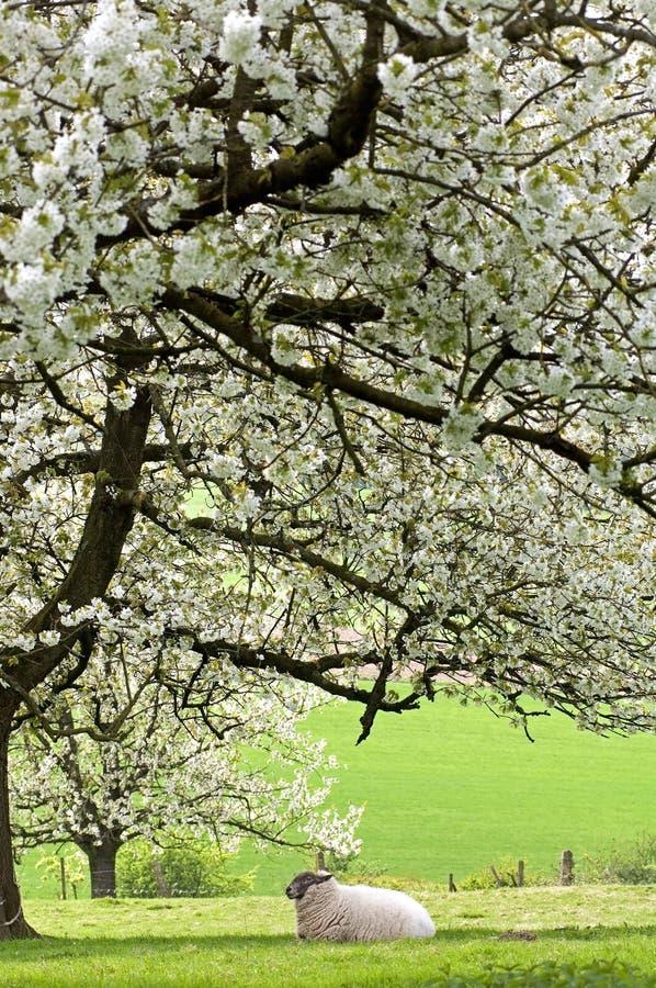 Carneiros de descanso no fruityard na flor completa fotos de stock