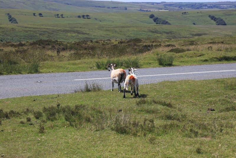 Carneiros de Exmoor que pastam na grama do charneca foto de stock royalty free