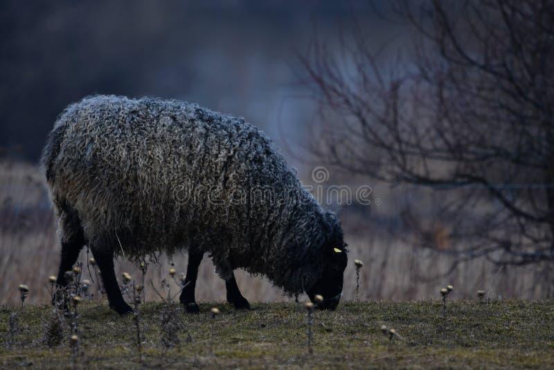 CARNEIROS de GOTLAND - raça nórdica dos carneiros conhecidos para lãs cinzentas encaracolado imagens de stock royalty free