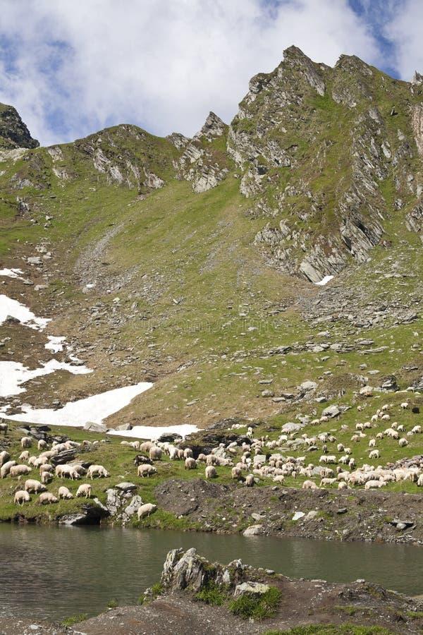 Carneiros de montanha a pastar fotos de stock