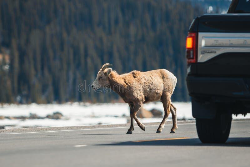 Carneiros de montanha que cruzam a estrada principal, via pública larga e urbanizada de Icefields, Jasper National Park, curso Al fotos de stock royalty free