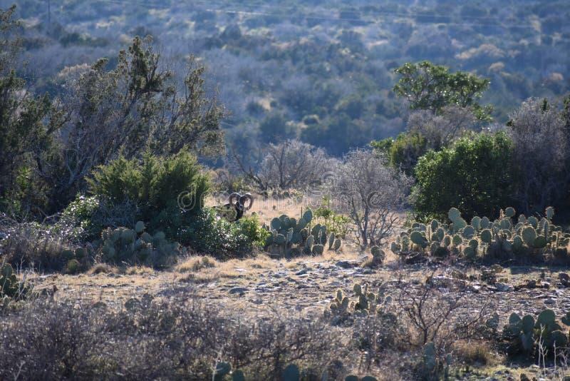 Carneiros de Mouflon no deserto fotografia de stock