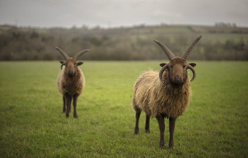 Carneiros de Shetland imagem de stock royalty free