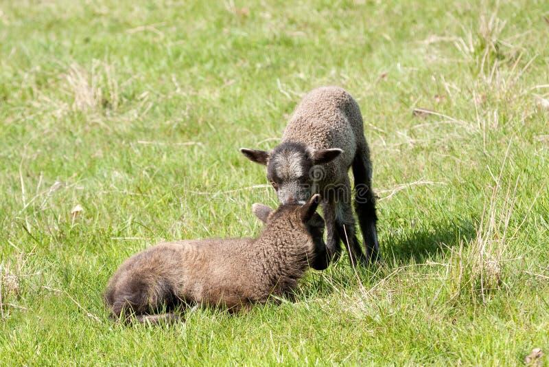 Carneiros de Shetland, cordeiros gêmeos fotografia de stock royalty free