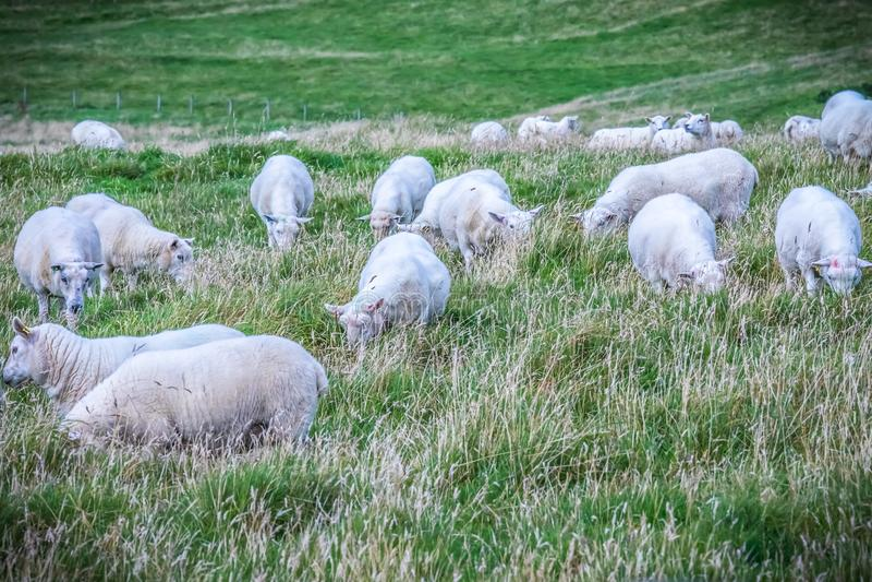 Carneiros de Shetland em ilhas de Shetland fotos de stock