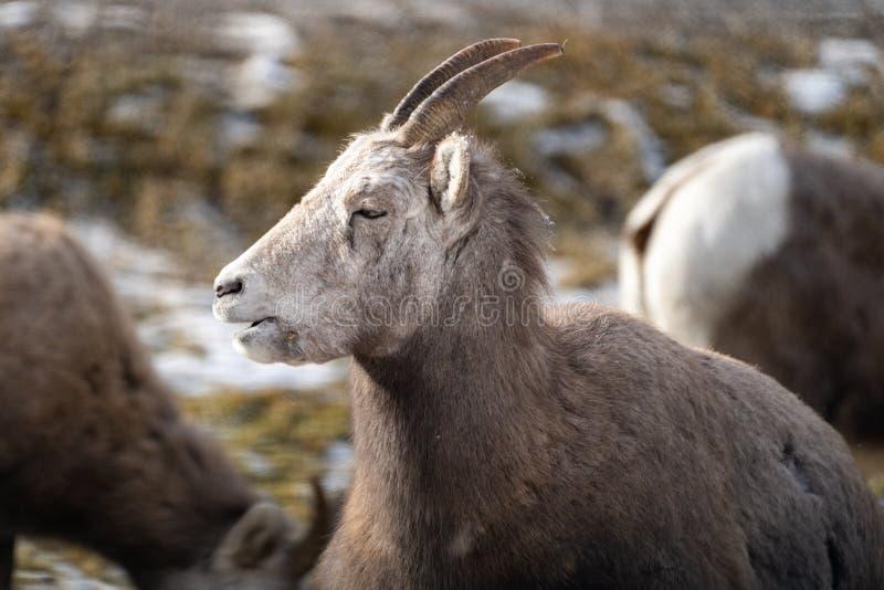 Carneiros de veado selvagem fêmeas da ovelha que relaxam no selvagem, no Columbia Britânica de Hot Springs do rádio O carneiro te fotografia de stock royalty free
