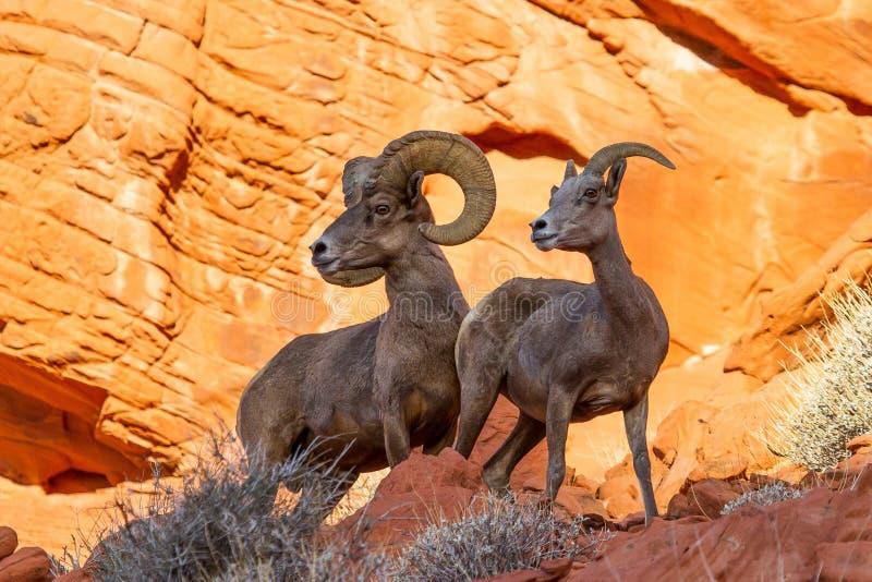 Carneiros do Big Horn do deserto na rocha vermelha fotos de stock
