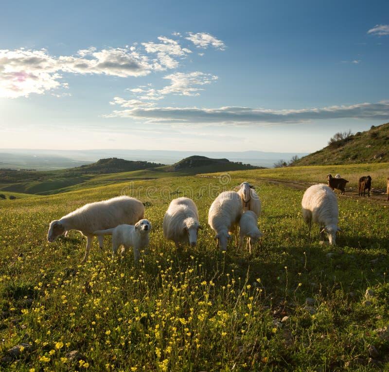 Carneiros do grupo no campo florescido à SU foto de stock
