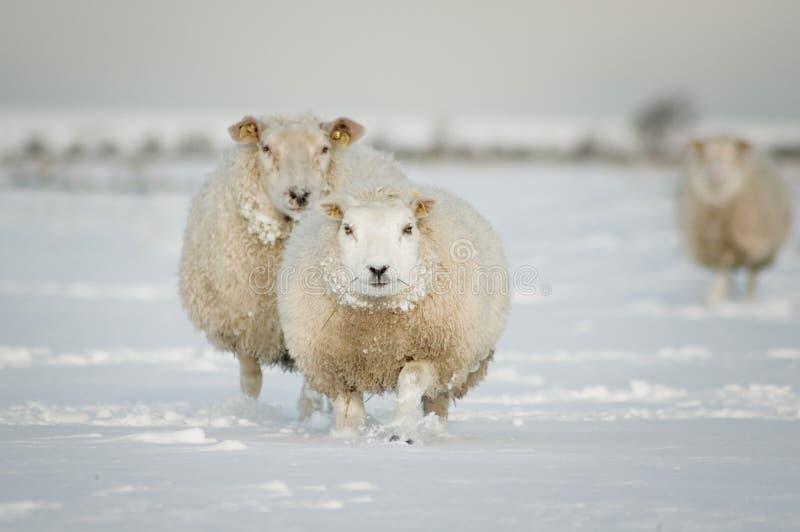 Carneiros do inverno na neve imagens de stock