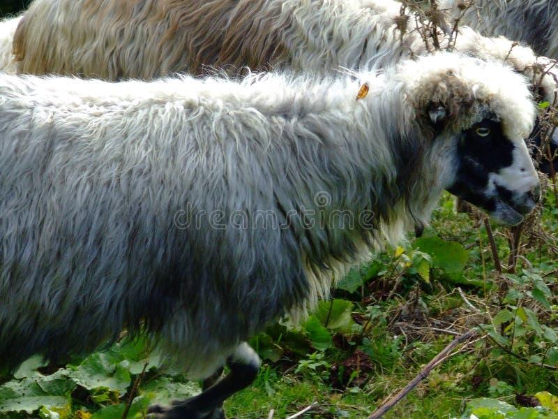 Carneiros dos Carpathians ucranianos Carneiros que pastam nas montanhas foto de stock