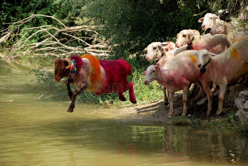 carneiros e água fotos de stock