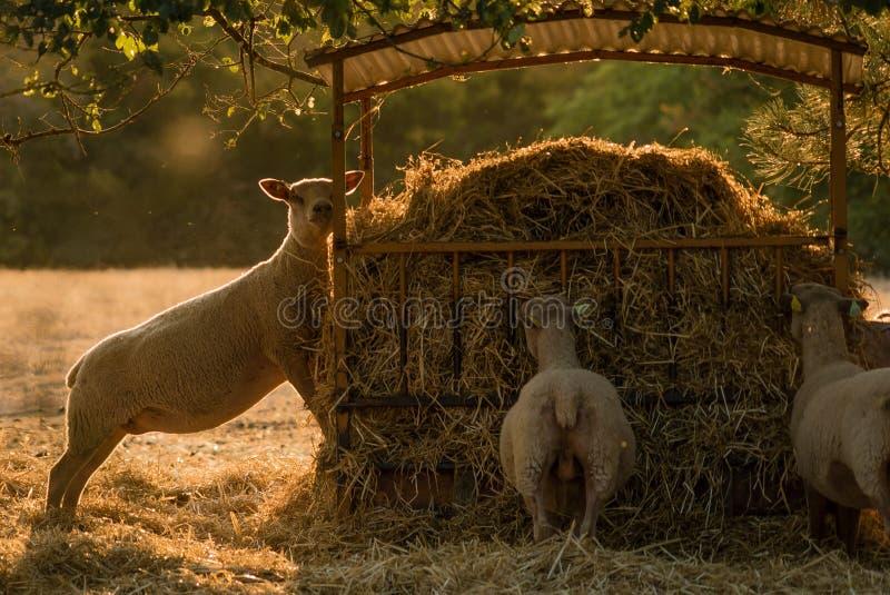 Carneiros e cultivo área do vale em França, Dordogne foto de stock
