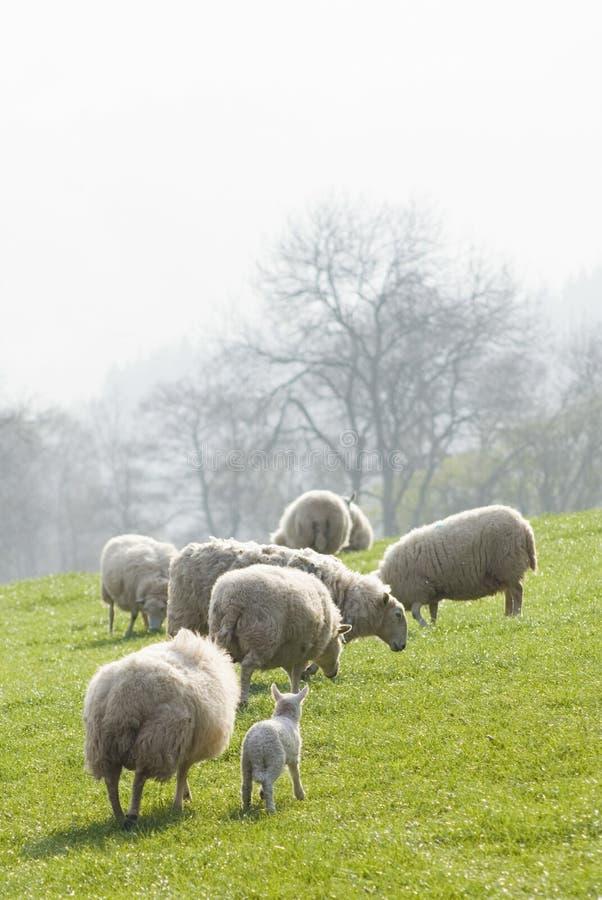 Carneiros e rebanhos animais saudáveis, rural idílico, Reino Unido fotografia de stock