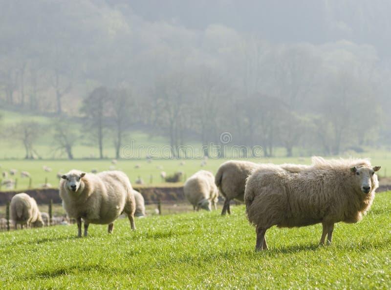 Carneiros e rebanhos animais saudáveis, rural idílico, Reino Unido fotos de stock
