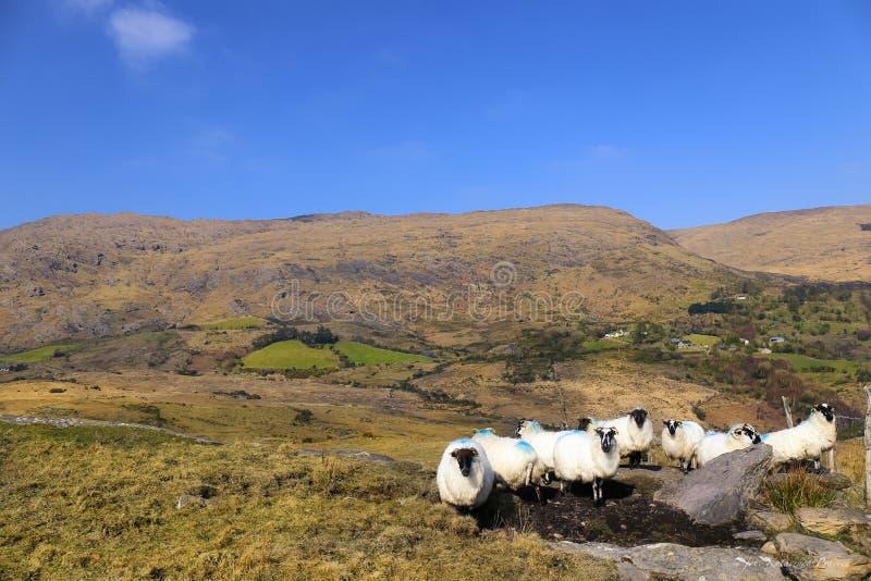 Carneiros em montanhas de Caha, Glengariff, cortiça do condado, Irlanda fotos de stock