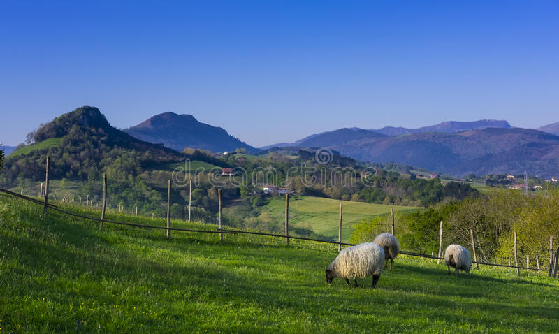 Carneiros em um campo verde com as montanhas no fundo imagens de stock
