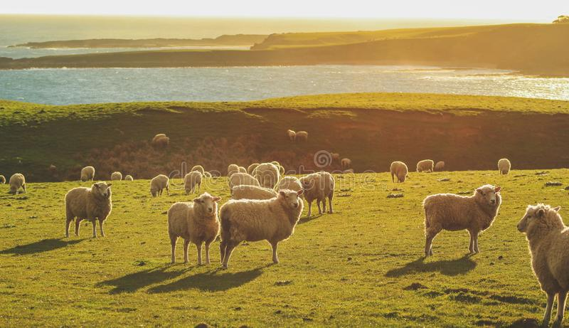 Carneiros em um campo verde no ponto durante o por do sol, ilha sul da inclinação, Nova Zelândia fotos de stock