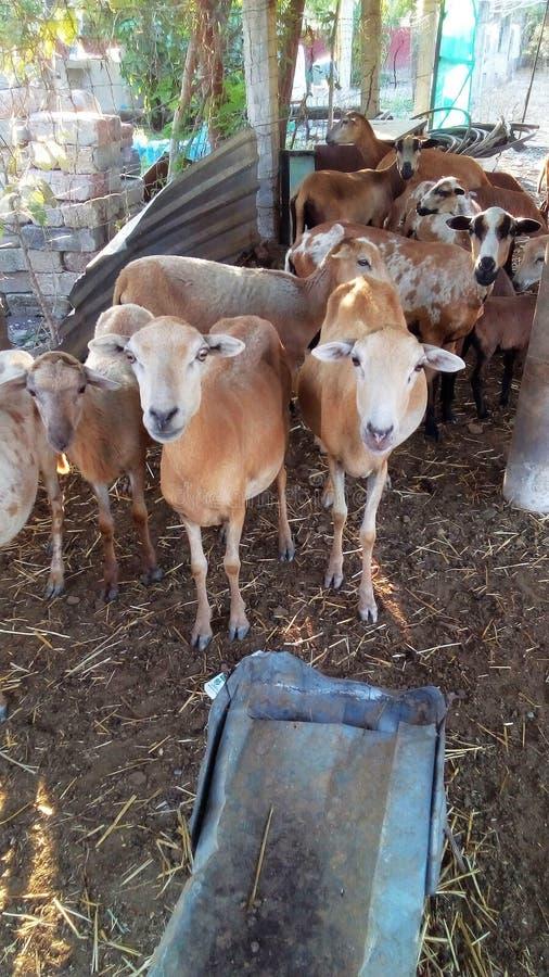 Carneiros em um rancho na cerca Falso, Guerrero, México fotos de stock royalty free