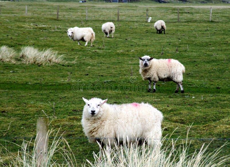 Carneiros em uma exploração agrícola em Ireland fotos de stock royalty free