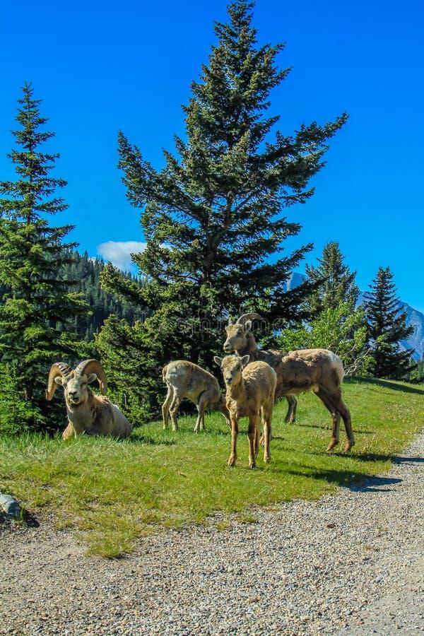 Carneiros grandes do chifre, parque nacional de Banff, Alberta, Canadá imagem de stock