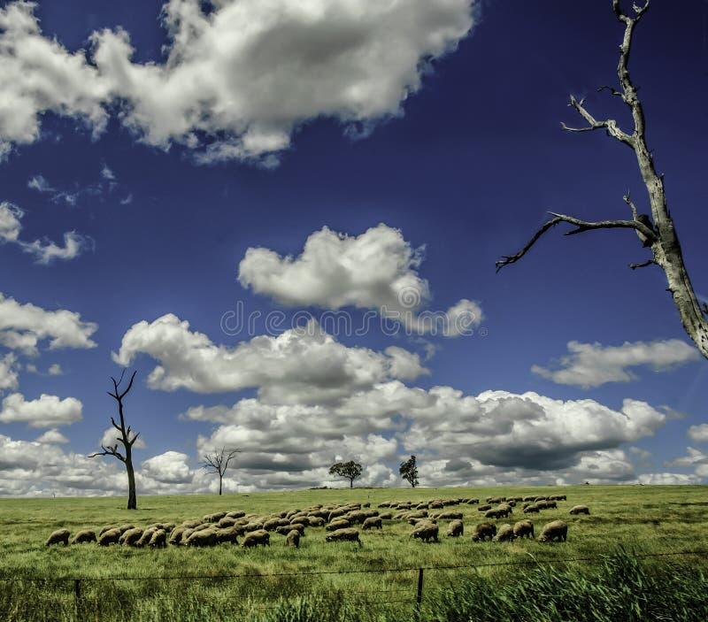 Carneiros Graze Under Blue Skies em Novo Gales do Sul Austrália foto de stock royalty free