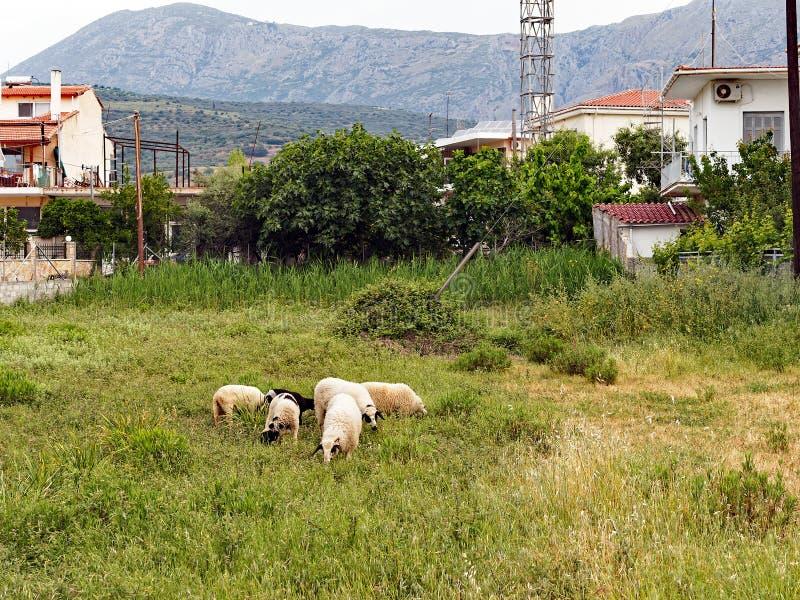 Carneiros gregos lanosos que pastam no prado pequeno da vila fotografia de stock royalty free