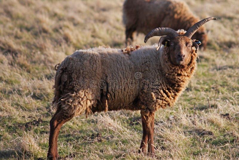 Carneiros Hebridean fotografia de stock royalty free
