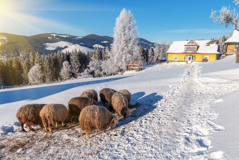 Carneiros, inverno, montanha fotos de stock